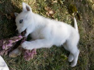 cute husky puppy with toy