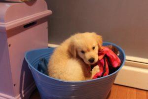 Cute Puppy in basket
