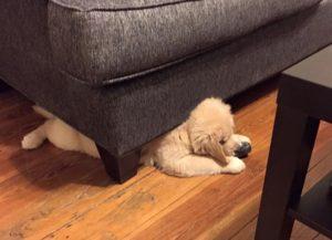 Puppy under Couch