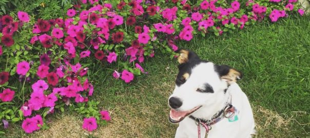 Dog Smiling next to Flowers