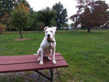 Dog sitting on Picnic Table